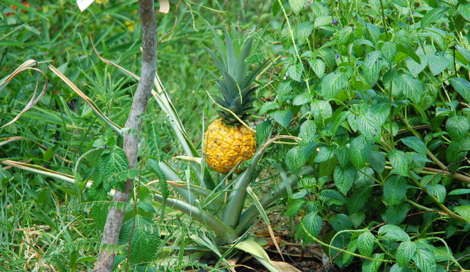 A pineapple in my back yard